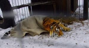 tijger ligt voor pampus