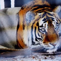 Wolf en tijger: nieuwe buren