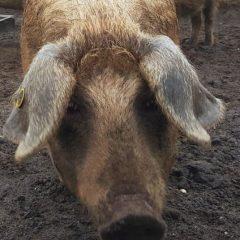 Het vergeten varken (VIDEO)